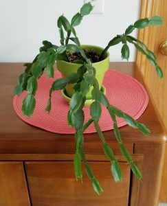 Prickly Jr. the Thanksgiving Cactus by FlowerChick.com