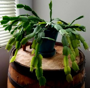 Prickly the Thanksgiving Cactus by FlowerChick.comall grown up