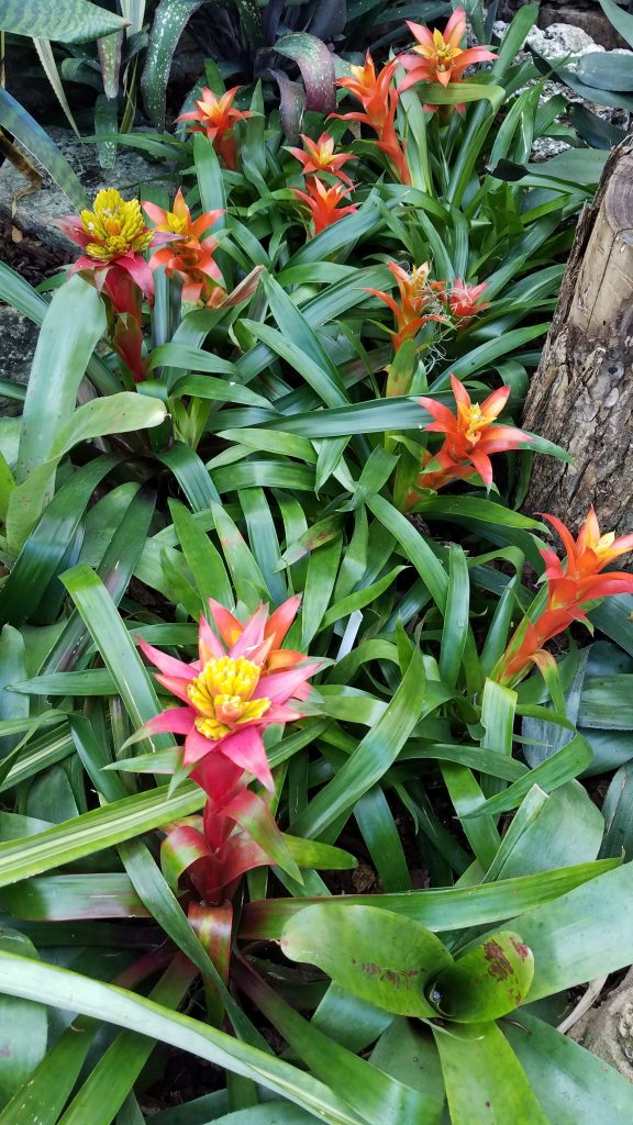Colorful Bromeliads at the Lincoln Park Conservatory