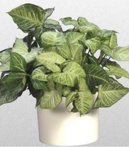 Arrowhead Plant Top 10 Easy Care Houseplants by FlowerChick.com