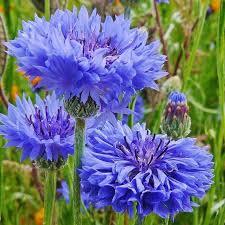 Blue Bachelor Buttons by FlowerChick.com