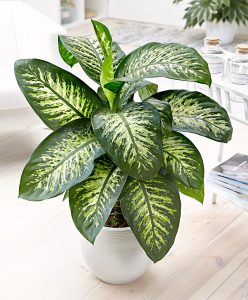 Dieffenbachia easy care Houseplant by FlowerChick.com