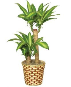 Corn Plant an Easy Care Houseplant by FlowerChick.com