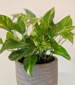 Golden Pothos -Top 10 Easy Care Houseplants by Flower.Chick.com