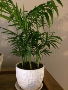 Parlor Palm an easy care houseplant by FlowerChick.com