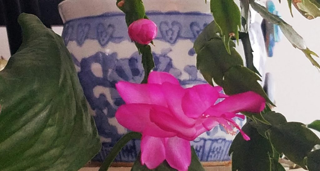 Wheatie the holiday cactus by FlowerChick.com