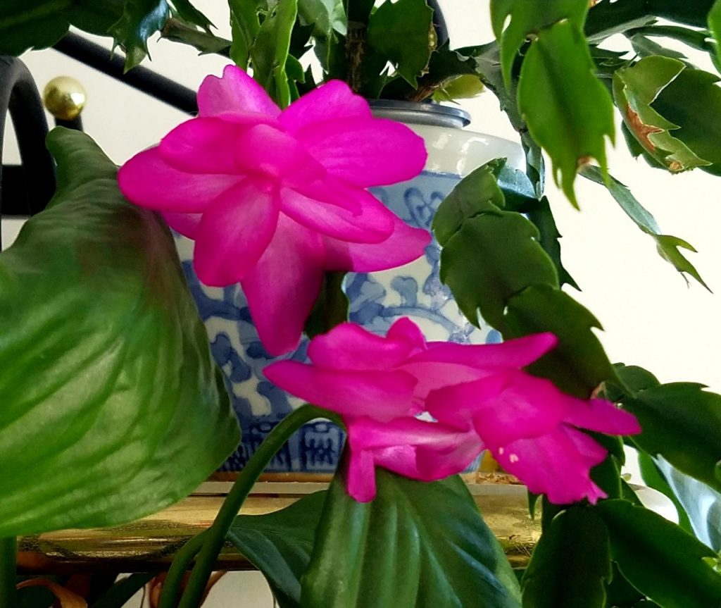 Wheatie the Holiday Cactus
