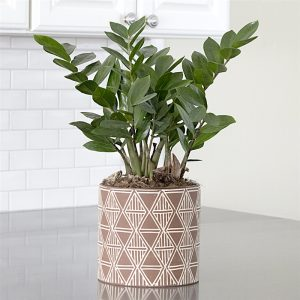 ZZ Plant Easy To Grow Houseplant by FlowerChick.com