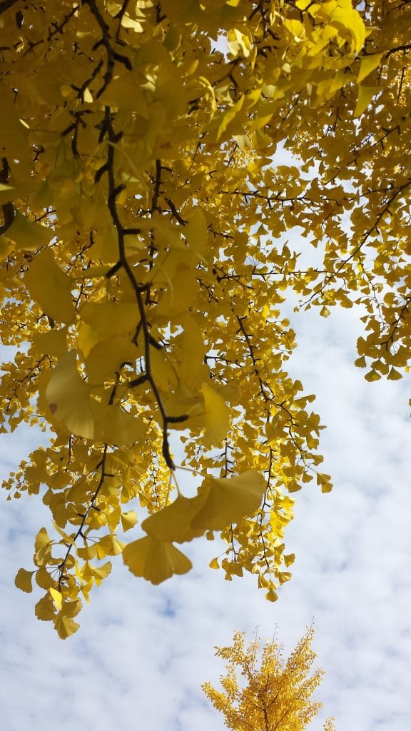 Ginkgo Tree in Fall by FlowerChick.com