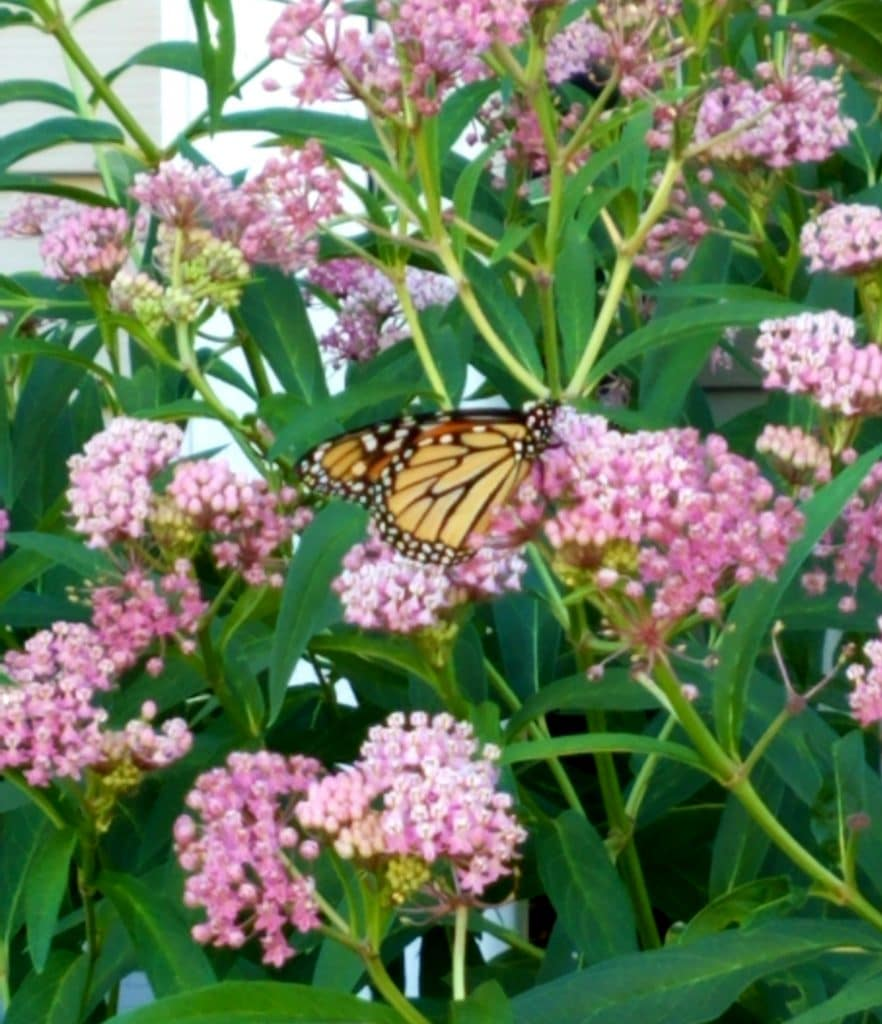 Plants That Attract Monarch Butterflies by FlowerChick.com