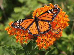 Monarch on Orange Milkweed by FlowerChick.com