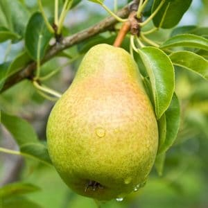 Zone 5 Fruit Trees Pear by FlowerChick.com