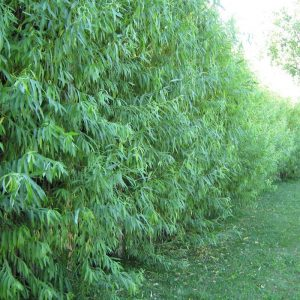 Best Privacy Trees and Shrubs for Zones 5 & 6 Willow Hybrid Privacy Hedge FlowerChick.om
