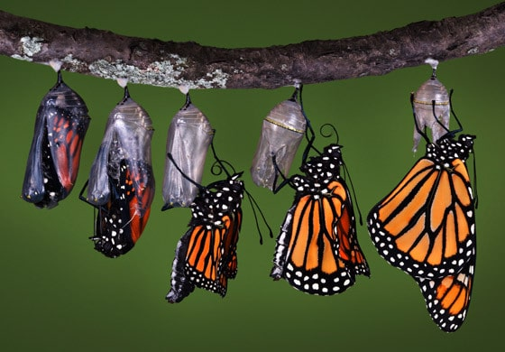 How To Attract Monarch Butterflies by FlowerChick.com