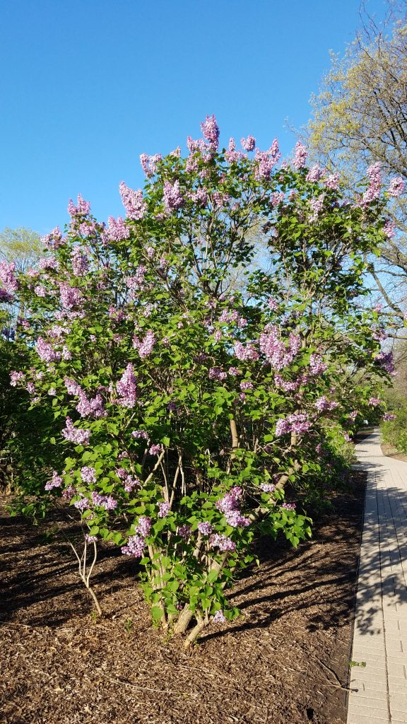 Lilac Bush at Lilacia Park by FlowerChick.com
