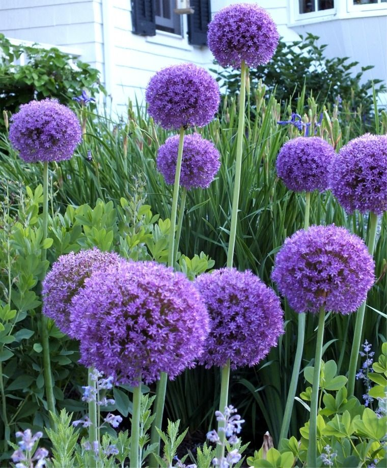 Allium Ornamental Onion by FlowerChick.com