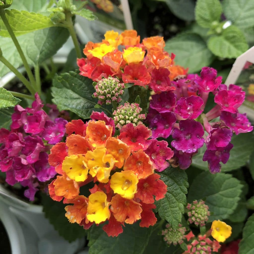 Lantana Deer Resistant Annual by FlowerChick.com