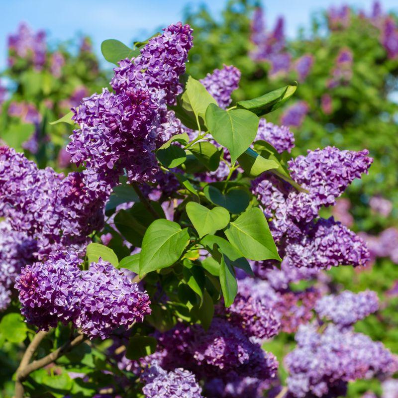 Visit Lilacia Park by FlowerChick.com