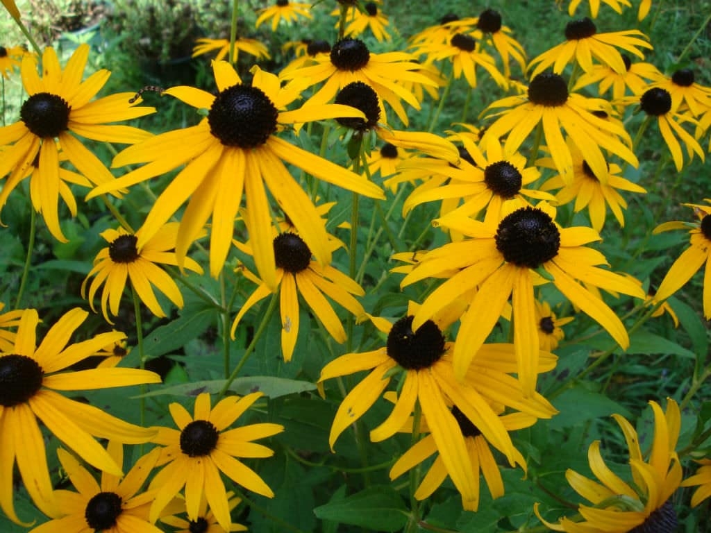 Black-Eyed Susans Top 10 Best Deer Resistant Plants by FlowerChick.com