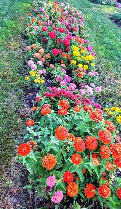 Chery Row Of Zinnias At The Butterworth Center