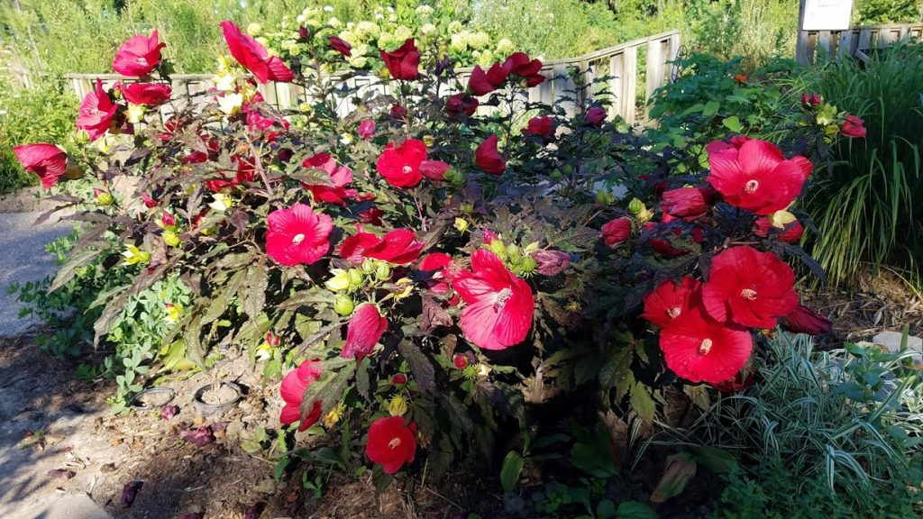 Hardy Hibiscus at Riverside Park Gardens by FlowerChick.som