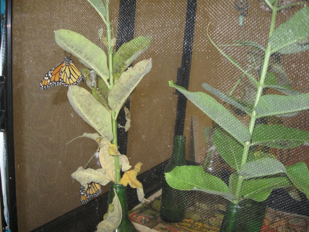 Raising Monarch Butterflies at QCBC by flowerchick.com