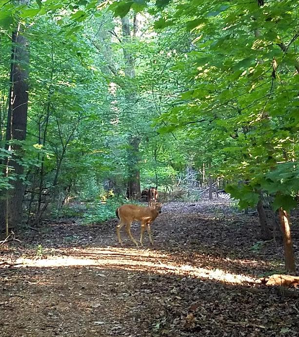 Deer At Lincoln Memorial Garden Springfield IL by FlowerChick.com