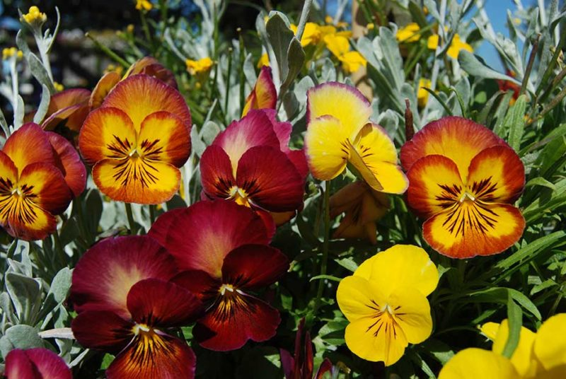Fall Colored Pansies