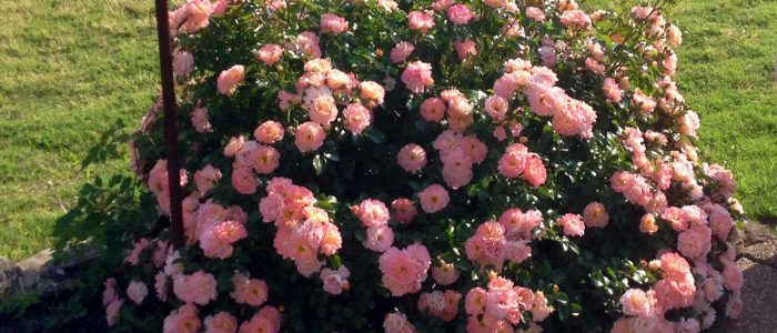 Apricot Drift Roses by FlowerChick.com