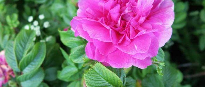 Rosa Rugosa 'Hansa' by FlowerChick.com