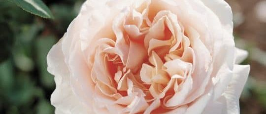 Roses Named For Famous People by FlowerChick.com