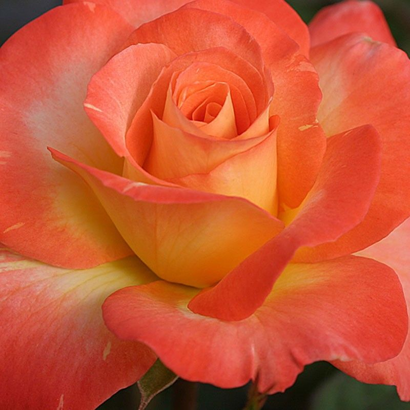 Roses Named For Famous People