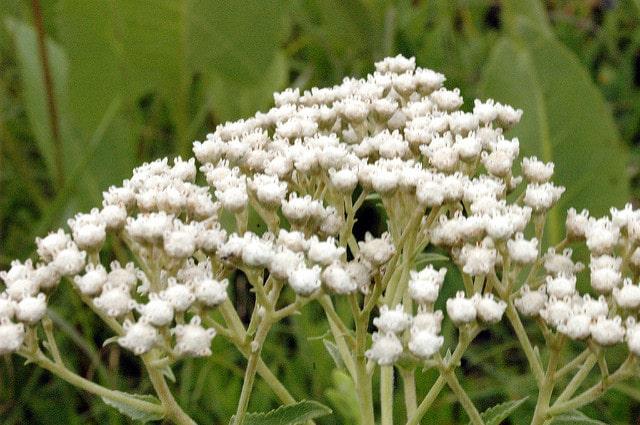 Native Plants FlowerChick.com