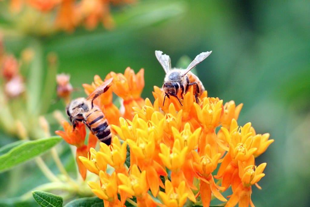 Milkweed and Honeybees by FlowerChick.com