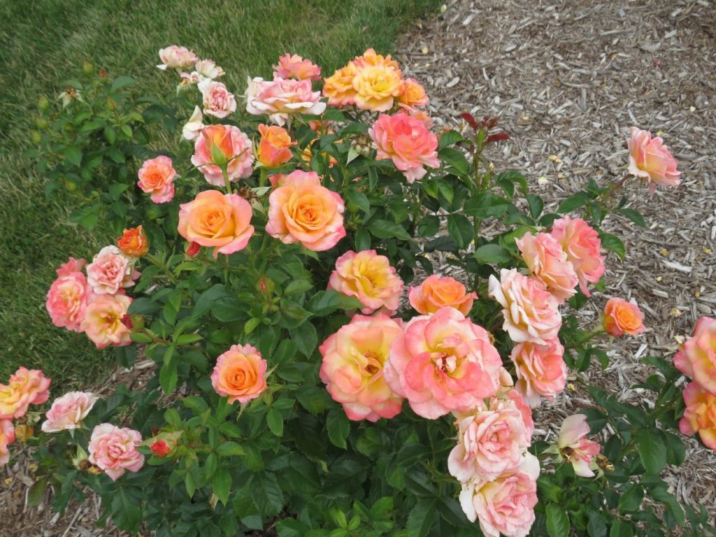 Griffith Buck Roses at Reiman by FlowerChick.com.com