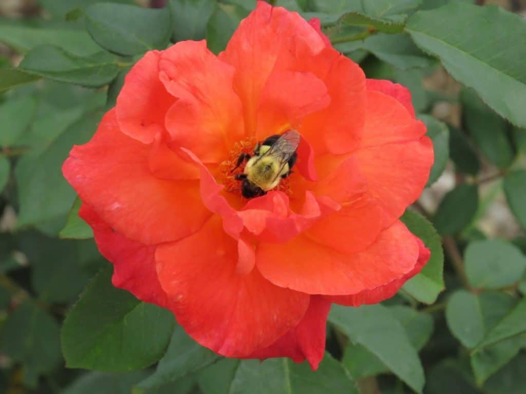 Busy Bee on Rose at Iowa Arboretum by FlowerChick.com