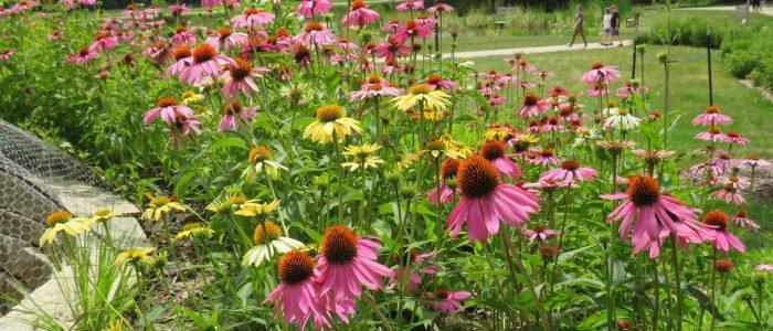 Sunny Coneflowers at Reiman Gardens by FlowerChick.com