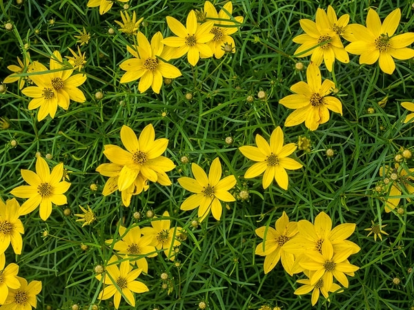 Threadleaf Coreopsis by FlowerChick.com