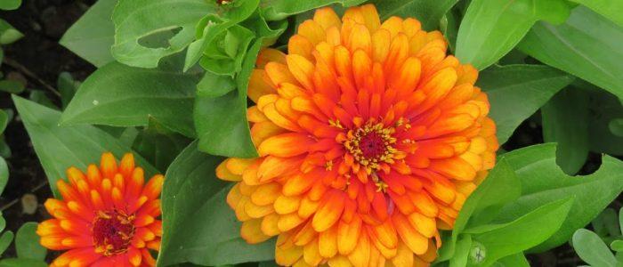 Bright Zinnias at Reiman by FlowerChick.com