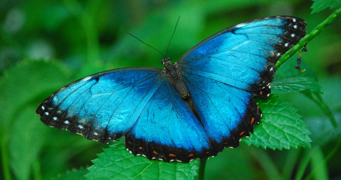 Blue Morpho Butterfly on Mackinac Island by FlowerChick.com