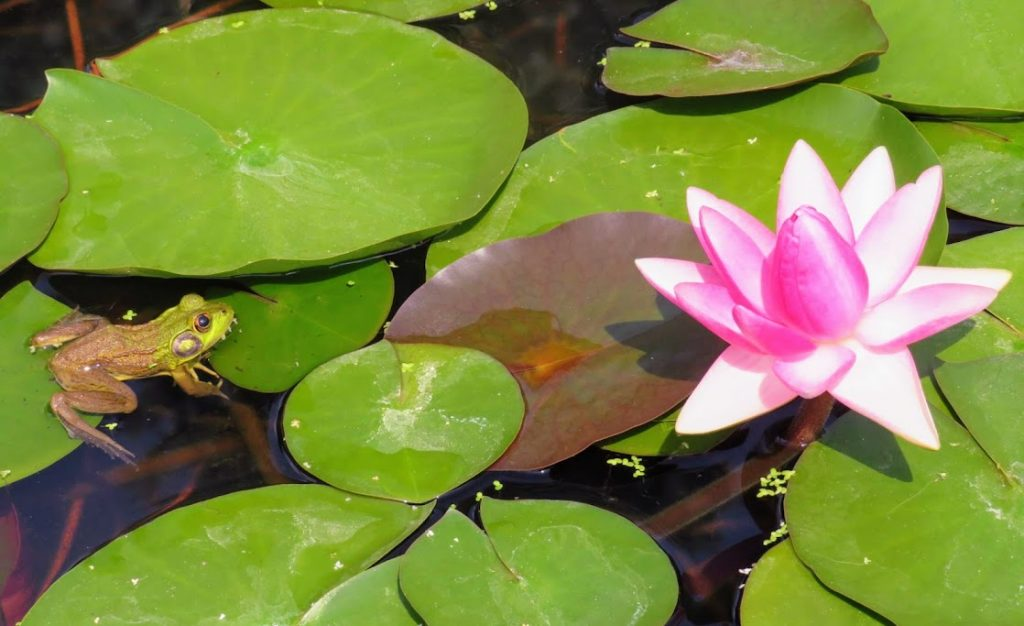 Frog and Water Lily Lansing Michigan