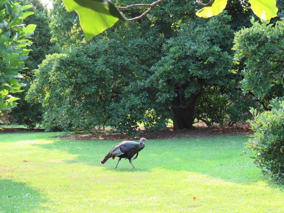Turkey At UW Arboretum