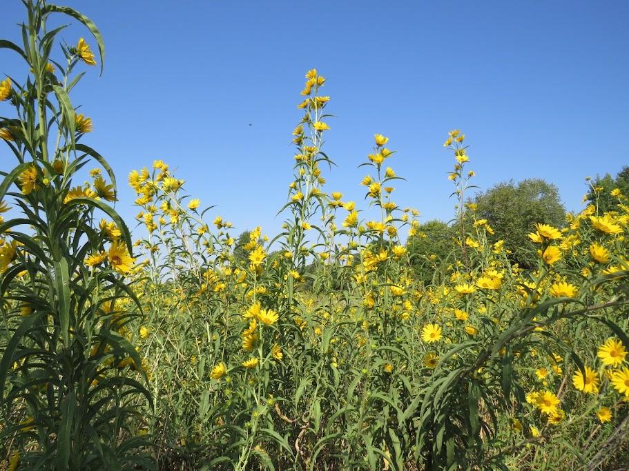 Muscatine Arboretum Prairie
