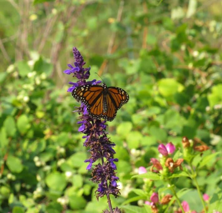 Monarch in UW Botany Garden