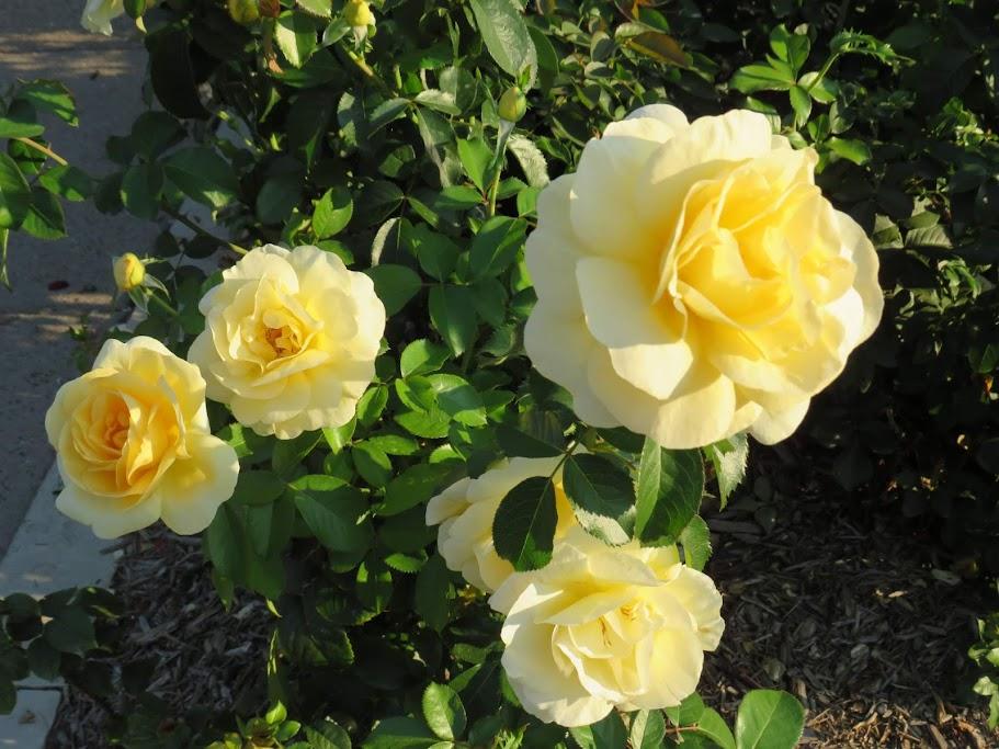 Weed Park Rose Garden