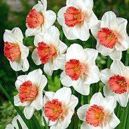 Daffodil The Pensioner