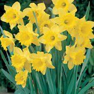 Daffodil Trumpet Dutch Master