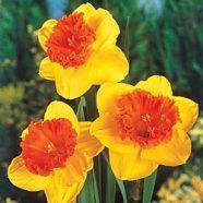 Daffodil Wild Carnival