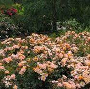 'Flower Carpet  Amber'