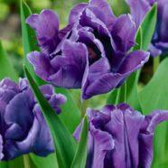 Tulip Parrot Blue